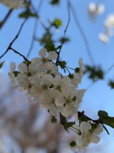 Какие деревья цветут в Краснодаре
