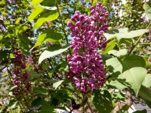 Когда цветет сирень в Краснодаре? Сирень начинает цвести в начале апреля!