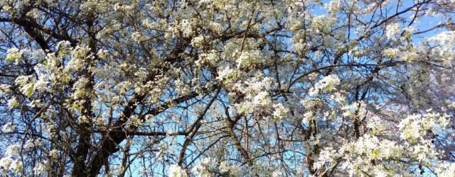 Как и когда цветут деревья в Краснодаре